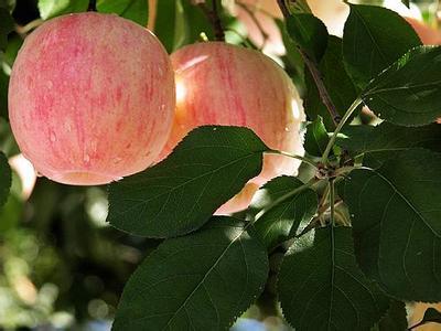 做一棵永远成长的苹果树-职场攻略-这一步校园招聘网